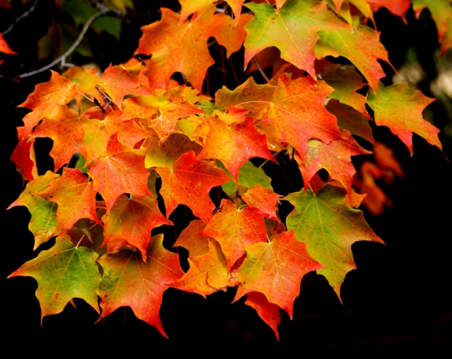 3 Sugar maple leaves yosemite